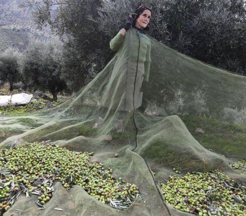 Pessoas com deficiência visual se adaptaram para realizar a colheita da azeitona