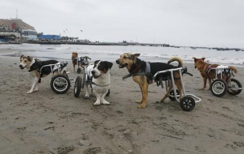 Animais são recolhidos por peruana e recebem comida e tratamento.