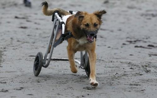 Cão paraplégico anda de cadeira de rodas em praia de Chorrillos, na região de Lima, no Peru.